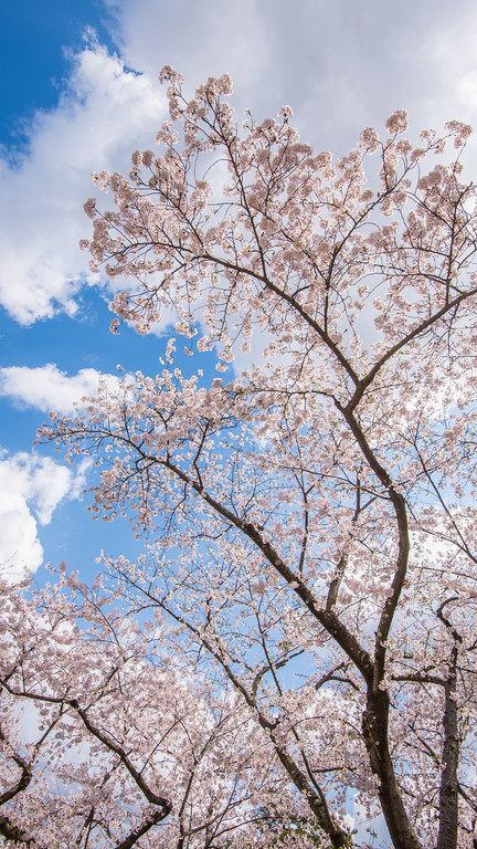 Blossoms On Blue And Clouds