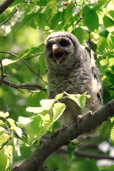 Barred owlet yawn Fairfax County, Virginia