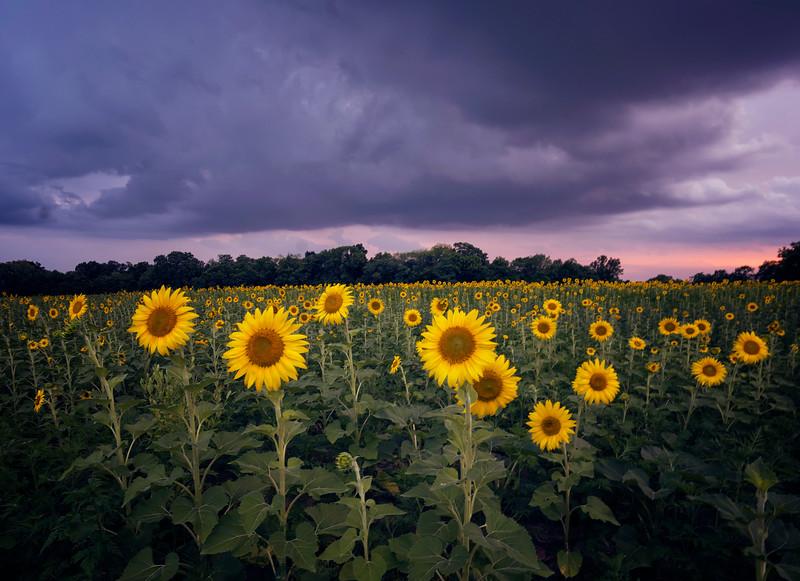 sunflowersmd.jpg