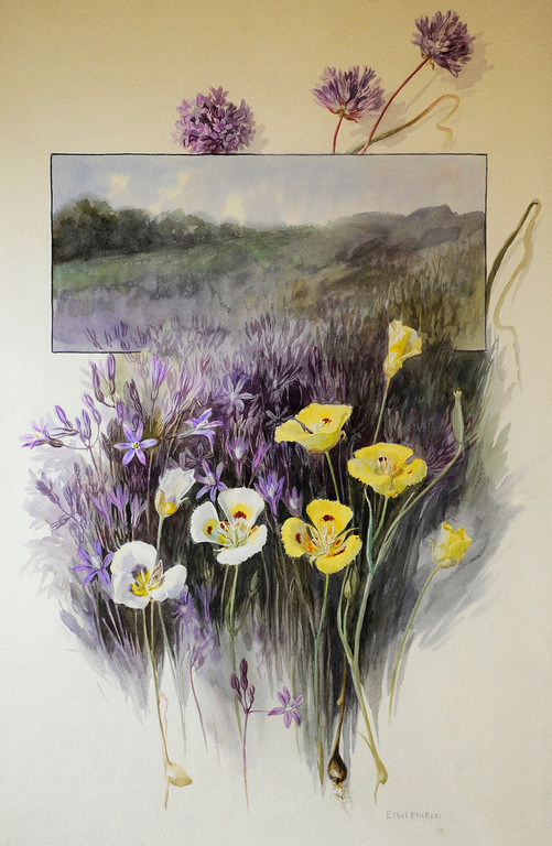 ". These Mariposa Lillys are a watercolor on paper painted by Ethel Wickes, 1872-1940. ""When they were wild,\"" is the Huntington Library\'s new Wildflower exhibition which kicks off a month of talks, workshops and wildflower sales. San Marino, CA 3/8/2013(John McCoy/Staff Photographer)"