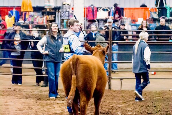 OYE Heifer Show Day 2