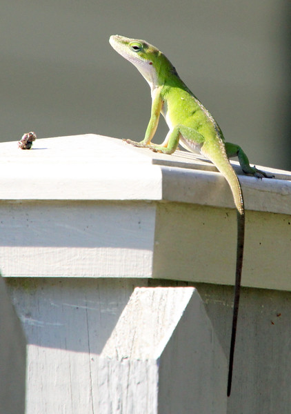 Anole on fence