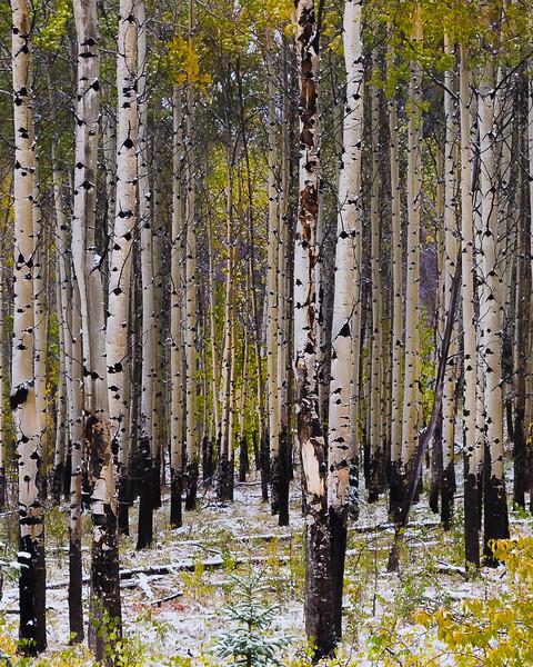 Aspen grove.jpg