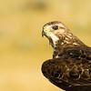 Swainson's hawk, Buteo swainsoni, in evening sun near Medicine Hat, Alberta, Canada.