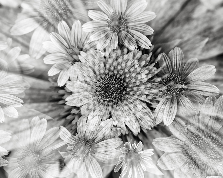 echinacea-dbl-exp.jpg
