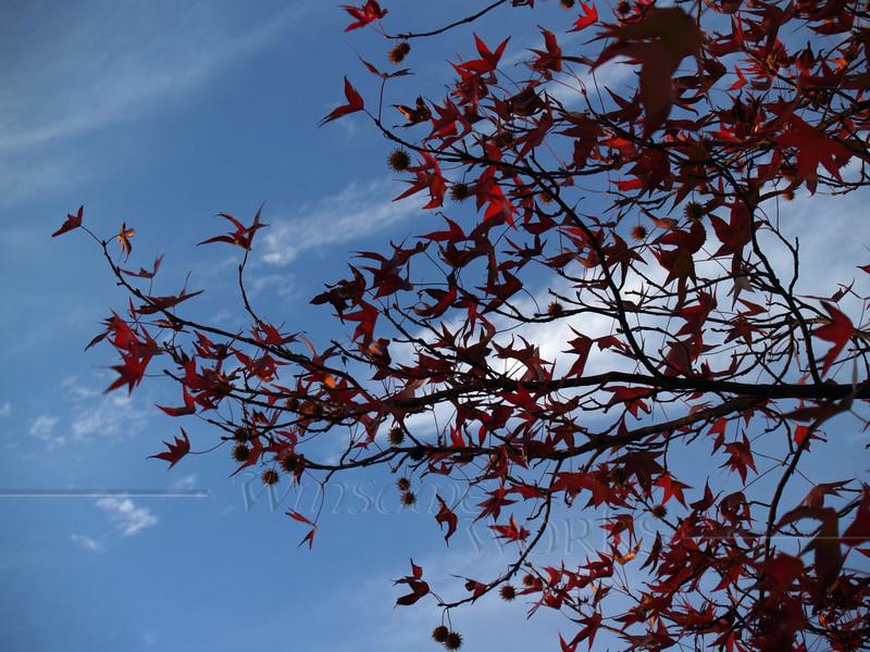 Backlit Sweetgum, Early Evening, Autumn (Liquidambar styraciflua)