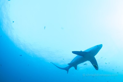Thresher shark, Malapascua © Chris Mitchell