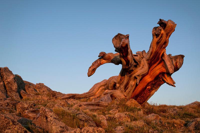 Sunrise Bristle Cone Pine