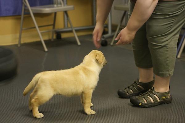 Lab Puppy Testing 05-24-2009