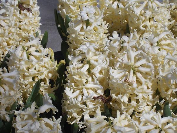 Keukenhof April 2015 - Flowers