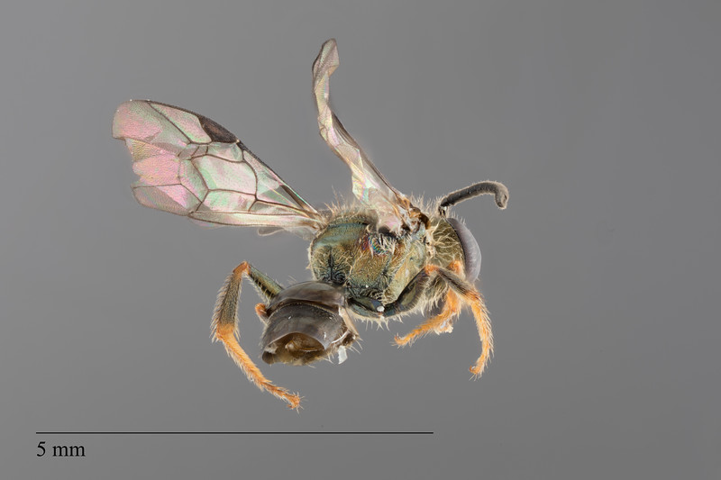 Homalictus concavus male