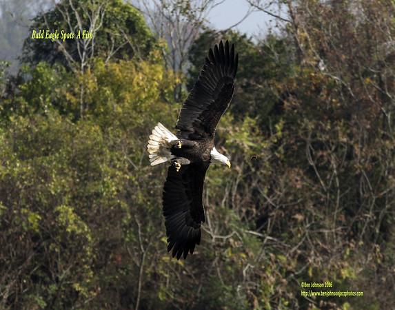 Conwingo Dam Eagles November 2, 2016
