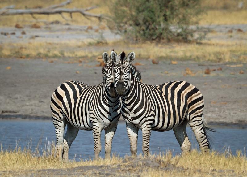 Zebras, Botswana, Africa