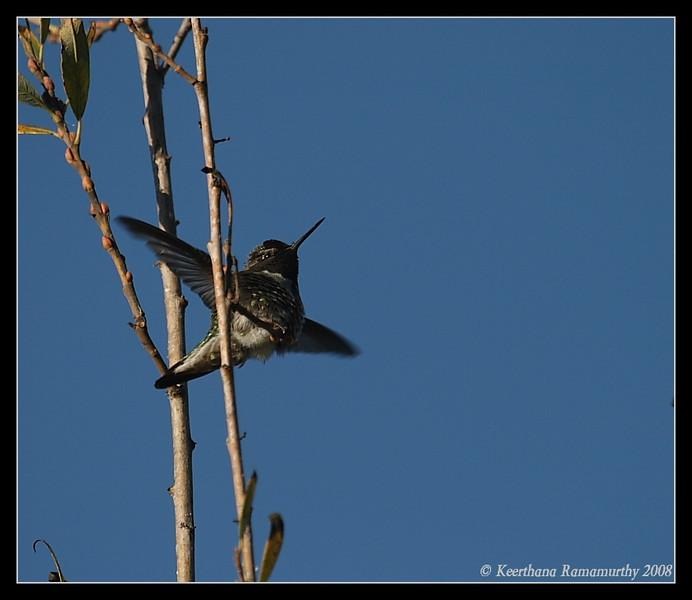 Anna's Hummingbird, San Elijo Lagoon, El Camino Real Trail, San Diego County, California, December 2008