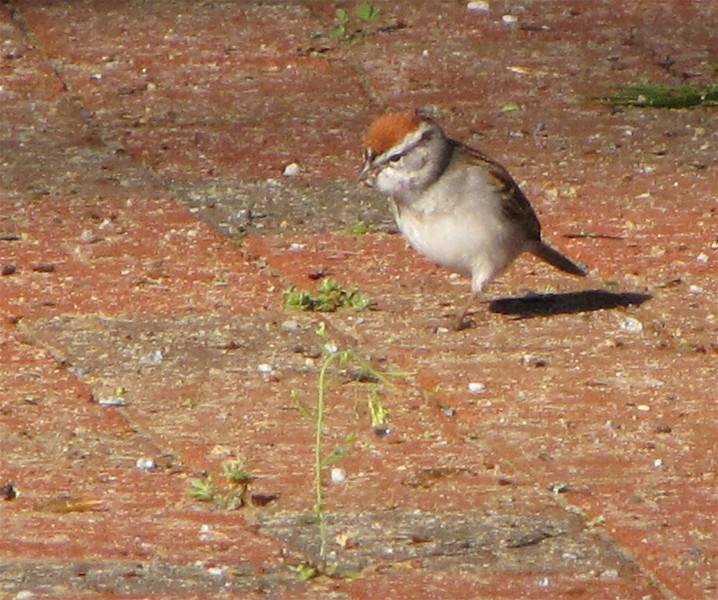Adult Breeding Chipping Sparrow - Occoneechee State Park - Clarksville, Virginia