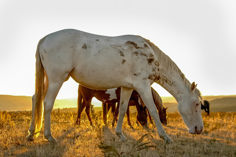 Backlit Wild Horse Grazing #3