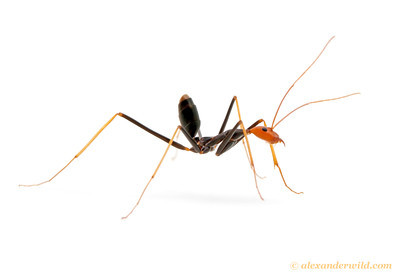 Leptomyrmex ruficeps spider ant.