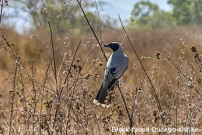 Black-faced Cuckoo-shrike, Australia