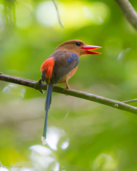 Brown-headed Paradise-Kingfisher at Varirata National Park, Papua New Guinea (10-14-2013) 019-92.jpg