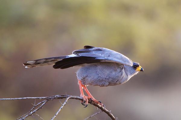 Eagles, Hawks, & Raptors of Kenya