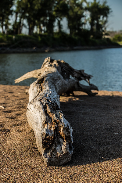 Beached Tree