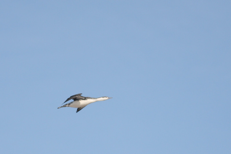 A loon flies over Cupsogue.