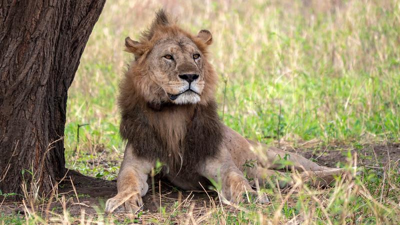Tanzania-Tarangire-National-Park-Safari-Lion-04.jpg