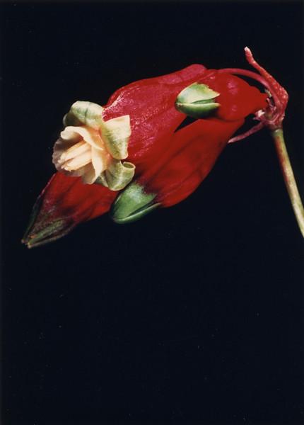 Firecracker Flower.jpg