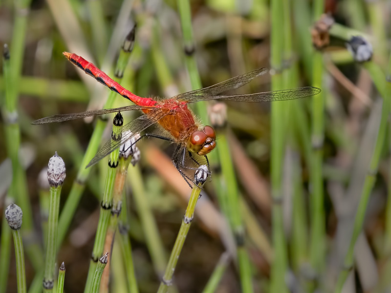 Cherry-faced Meadowhawk (Sympetrum internum), male - Western Form