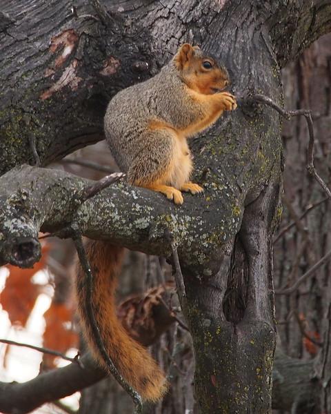 Eastern Fox Squirre