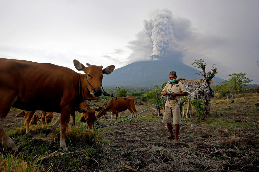 . A villager takes his cows to a field with Mount Agung volcano erupting in the background in Karangasem, Bali, Indonesia, Tuesday, Nov. 28, 2017. Indonesia\'s disaster mitigation agency says the airport on the tourist island of Bali is closed for a second day due to the threat from volcanic ash. (AP Photo/Firdia Lisnawati)