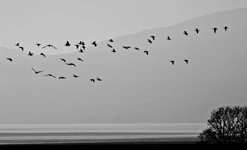 Geese Through the Mist