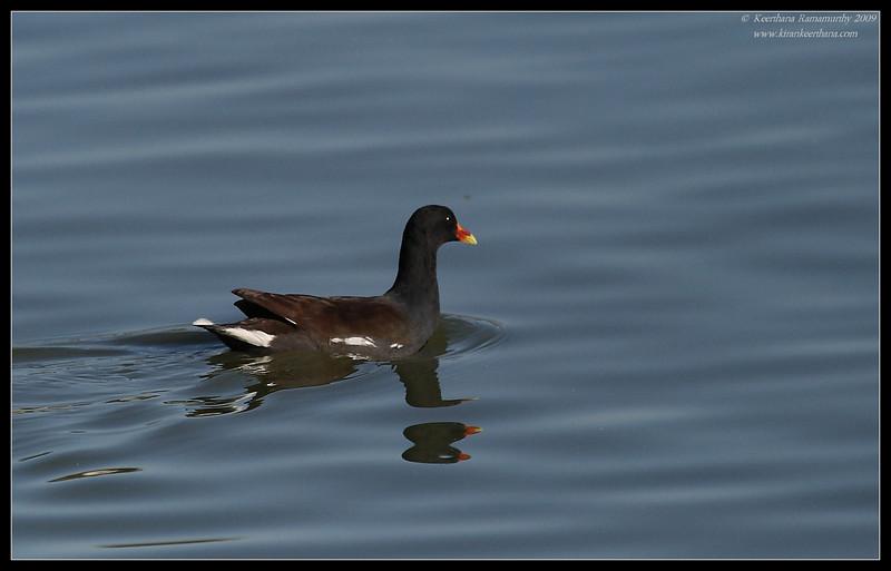 Common Moorhen, Lindo Lake, San Diego County, California, October 2009