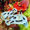 nudibranch, white yellow black, 2