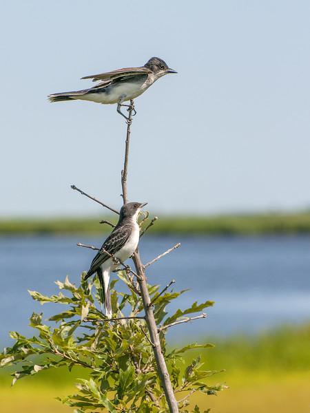 Eastern King Birds.jpg