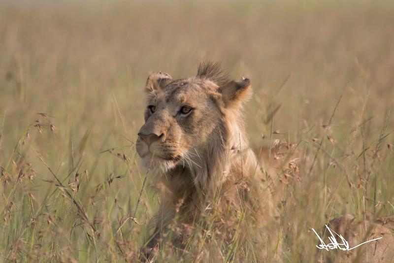 Lions Masai Mara - S-20.jpg