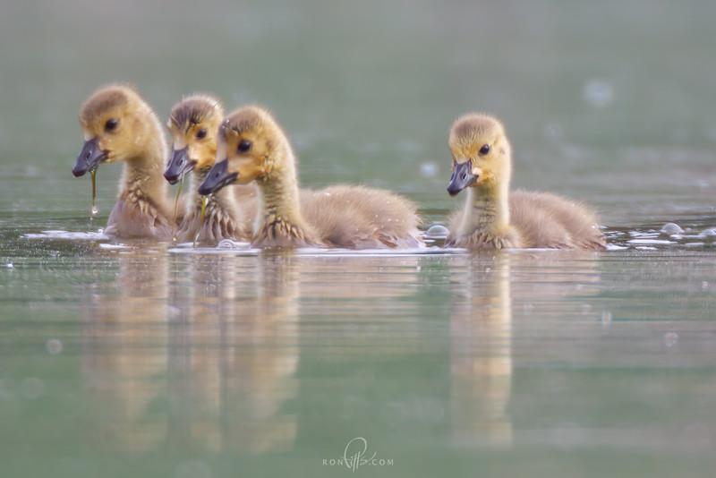 sm goslings_M4D5410.jpg