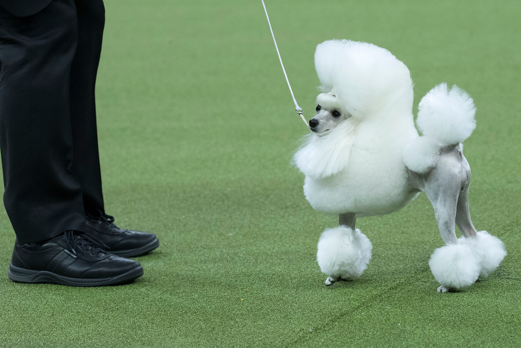 . Cami, a toy poodle, competes in the Toy group during the 142nd Westminster Kennel Club Dog Show, Monday, Feb. 12, 2018, at Madison Square Garden in New York. (AP Photo/Mary Altaffer)