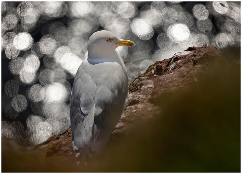 Herring gull surveying the sea