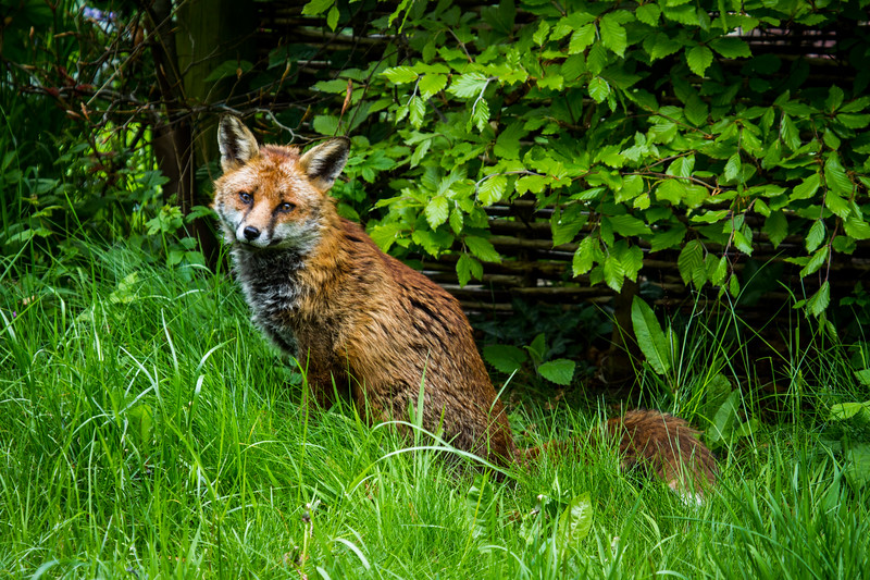 Fox in my garden
