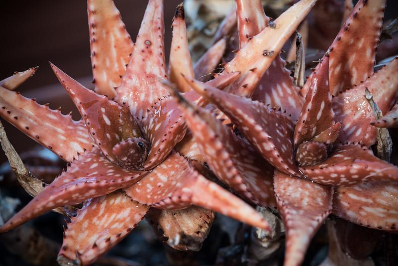 Aloe jucunda DSC_1854.jpg