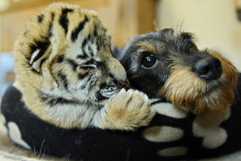 """. Female dachshund Bessi lays in a basket with a five-day-old baby tiger at the wild animal park Ismer in Stroehen, western Germany. Dachshund \""""Monster\"""", who initially adopted the baby tiger cast out by its mother, died in a car accident. and Bessi has taken over the role.     (PHILIPP GUELLAND/AFP/Getty Images)"""