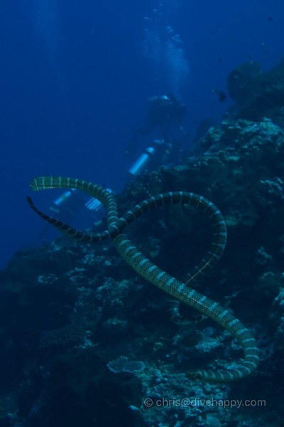 Sea Snakes Over Gunung Api's Corals © Chris Mitchell