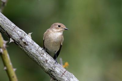 Flugsnappare – Flycatchers