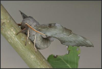 Populierenpijlstaart/Poplar Hawk-moth