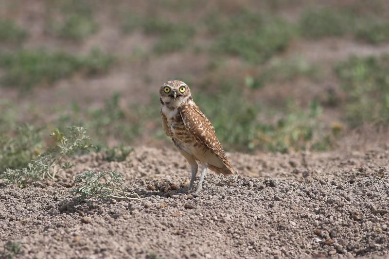 Burrowing Owl,  Badlands National Park