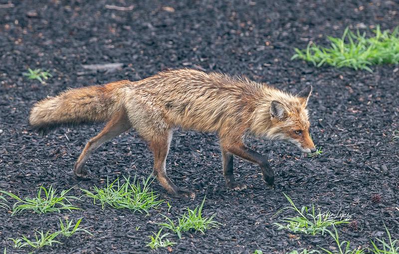 Fox_JordanCt_062019-9371.jpg