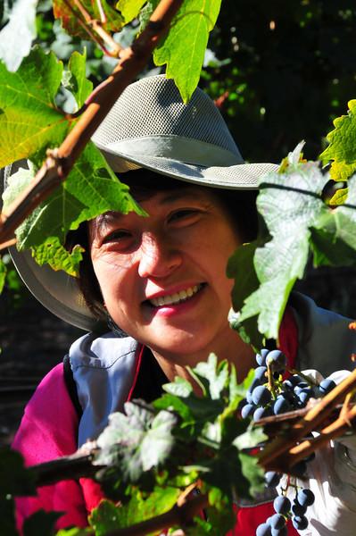 Lilian Vineyard - Grape Harvesting 2008 - Napa Valley