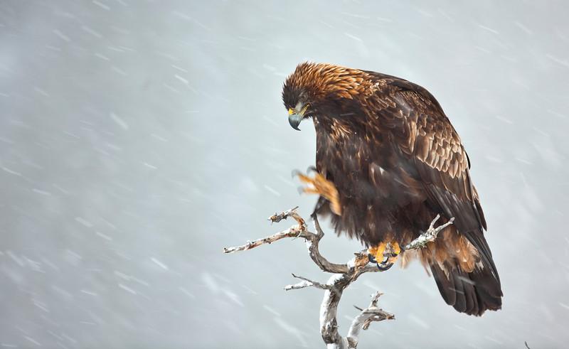 Golden Eagle 5.jpg