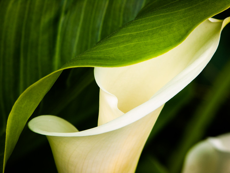 Calla, Campbell, California, 2005